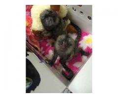 Two Pygmy Finger Marmoset Monkeys