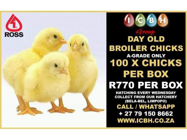 Ross 308 A-Grade Broiler Chicks - 1/1