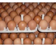 Chicken Fresh Brown / White Table Eggs for Human Consumption