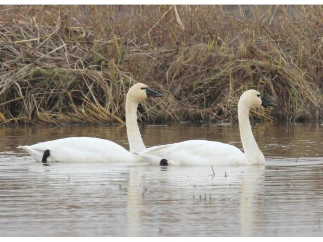Beautiful Swans and waterfowls - 2/3