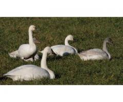 Beautiful Swans and waterfowls