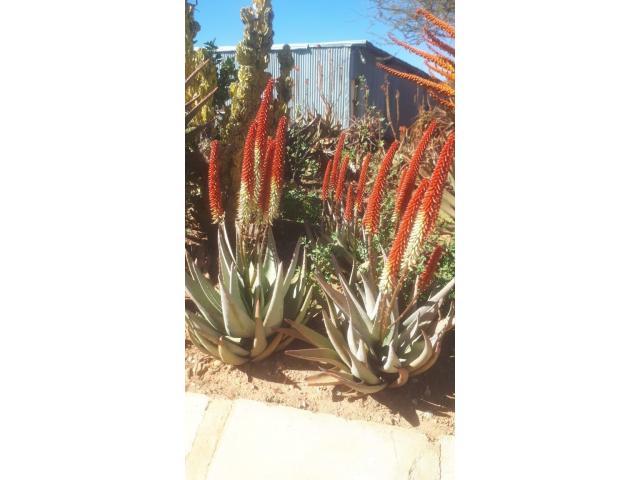 ALOE VERA PLANTS - 1/4
