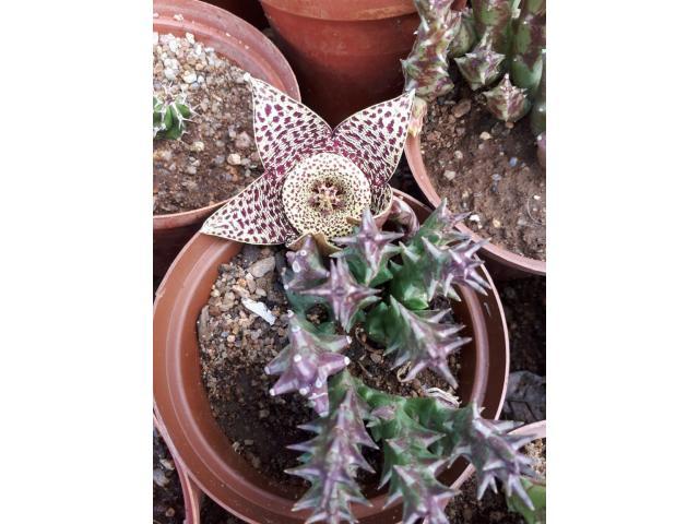 ALOE VERA PLANTS - 3/4