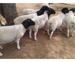 Certified Organic Sheep/Lambs for Sale