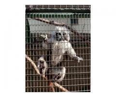 Cotton top tamrin monkey