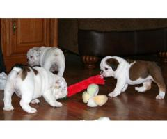 Gorgeous English Bulldogs Still Searching For A New Family