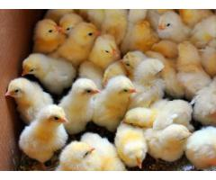 A Grade Day Old Broiler Chicks (100/Box)