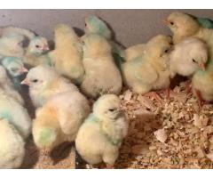 Ross 308/ Cobbs 700 A Grade Day Old Broiler Chicks (100/Box)