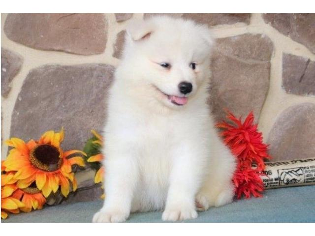 Samoyed Puppy For Sale - 1/2