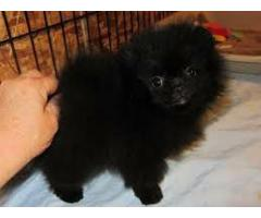 Pomeranian ready for new home