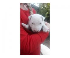1 Male bull terrier puppy left