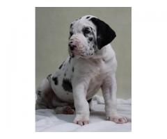 Harlequin great dane puppies for sal
