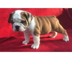 Gorgeous Engish Bulldog puppies for sale