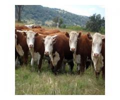 Brahman Calves/Brahman Bulls/Pregnant Brahman Cattle