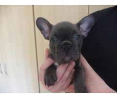 KUSA Reg French Bulldog Female puppies available