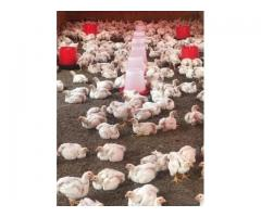 quality broiler chickens for sale