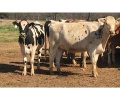 holstein heifers for sale