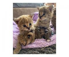 Savannah Kittens   Serval Kittens   F1 Savannah cats