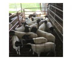 Sheep, Goat, Cow Available