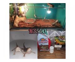 ×2 Bearded Dragons + cage