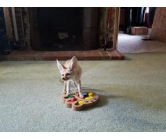 Fennec Fox Kittens Available