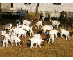 500 boer goats and sheep available