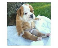 BEAUTY ENGLISH BULL DOGS PUPPIES FOR SALE