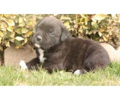KC Quality Breeded Champions Cane Corso Puppy