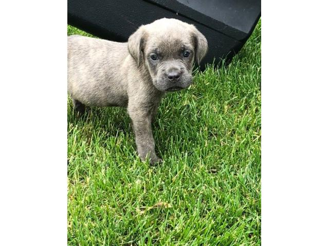 Kc Quality Breeded Champions Cane Corso Puppy Class Ads