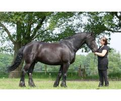 Well trained friesian Horse ( Gelding )