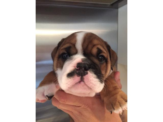 KUSA Registered English bulldog puppies for sale - 1/4