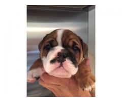 KUSA Registered English bulldog puppies for sale