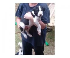 Pit bull cross Bull Terrier puppies for sale 1 2 3 4 5
