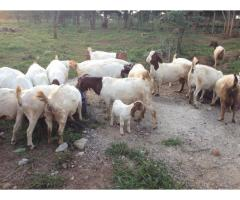 Vaccinated Checked boer goats and sheeps available