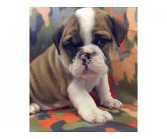 bulldog Ready To Leave Now!! call whatsapp and sms for more info 0604414006