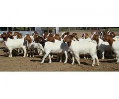 Great quality meat and diary goats, sheep, and Cattle for Sale