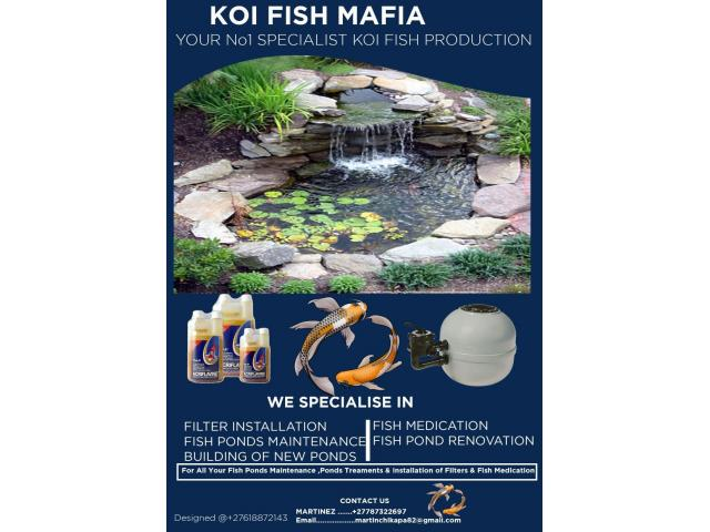 Your No1 SPECIALIST KOI FISH PRODUCTION - 1/1