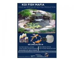 Your No1 SPECIALIST KOI FISH PRODUCTION